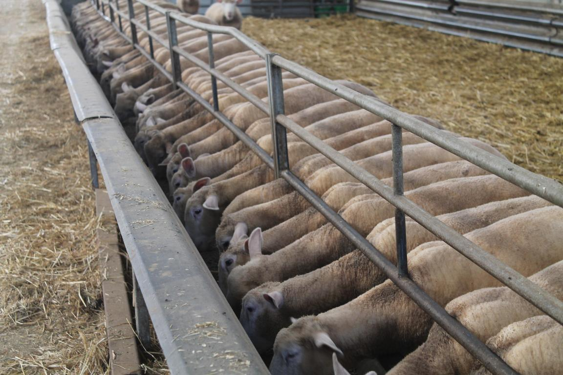 Ovins et caprins chambre d 39 agriculture haute marne - Chambre agriculture haute saone ...